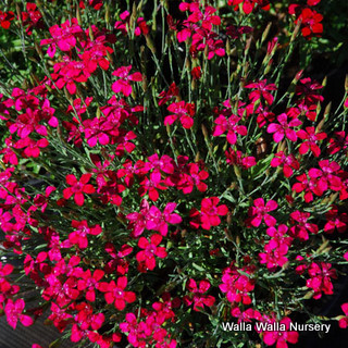 Dianthus d. 'Flashing Lights'